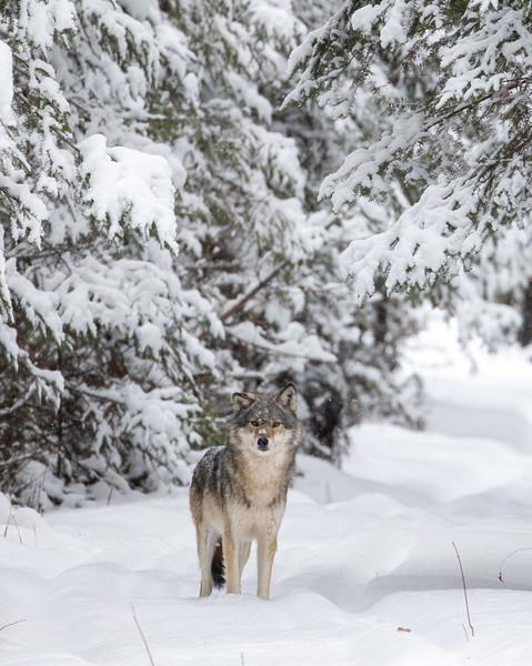 Timber Wolf CR52-Arkola Road just west of Cotton Sax-Zim Bog MN  IMGC5990.jpg