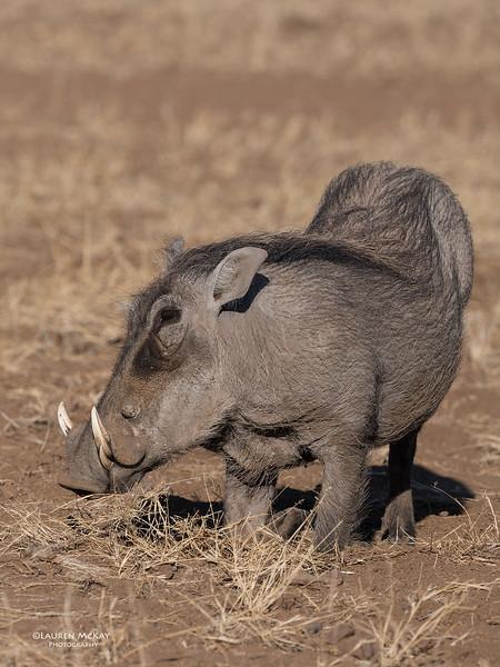 Warthog, Mashatu GR, Botswana, May 2017-1.jpg