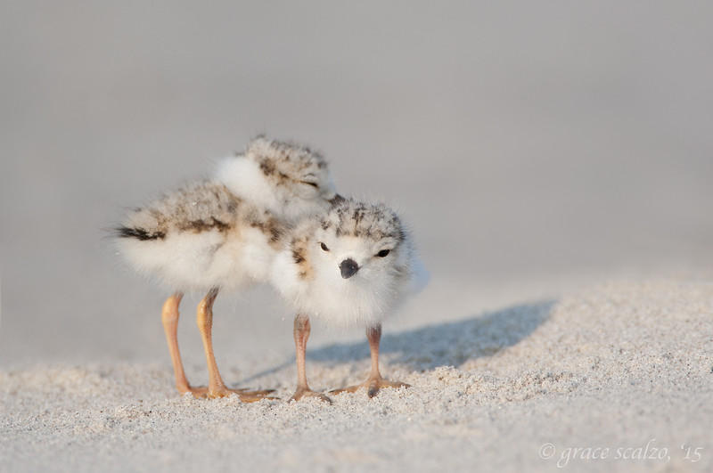 """Lean on Me"" - Piping Plover Chicks"