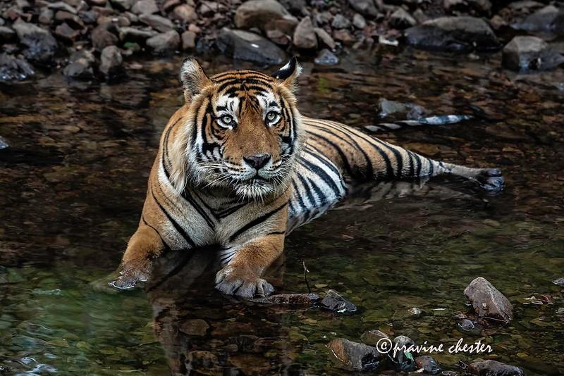 Tiger Cooling