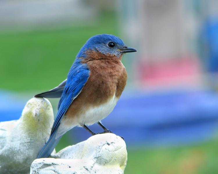 bluebird_6984.jpg