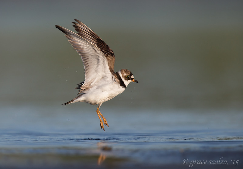 Semipalmated Plover after bath leap