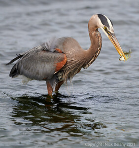 Great Blue Heron with Sushi !