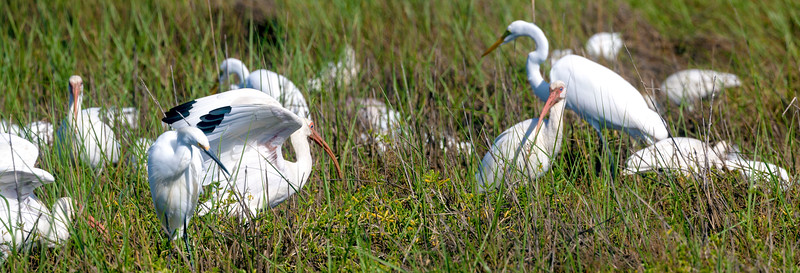White Ibis has just come down in the flock ...