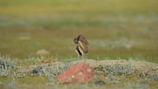 7-11-15 Video Burrowing Owls