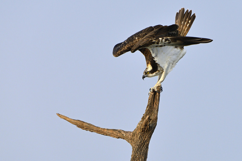 Osprey-Stretching.jpg