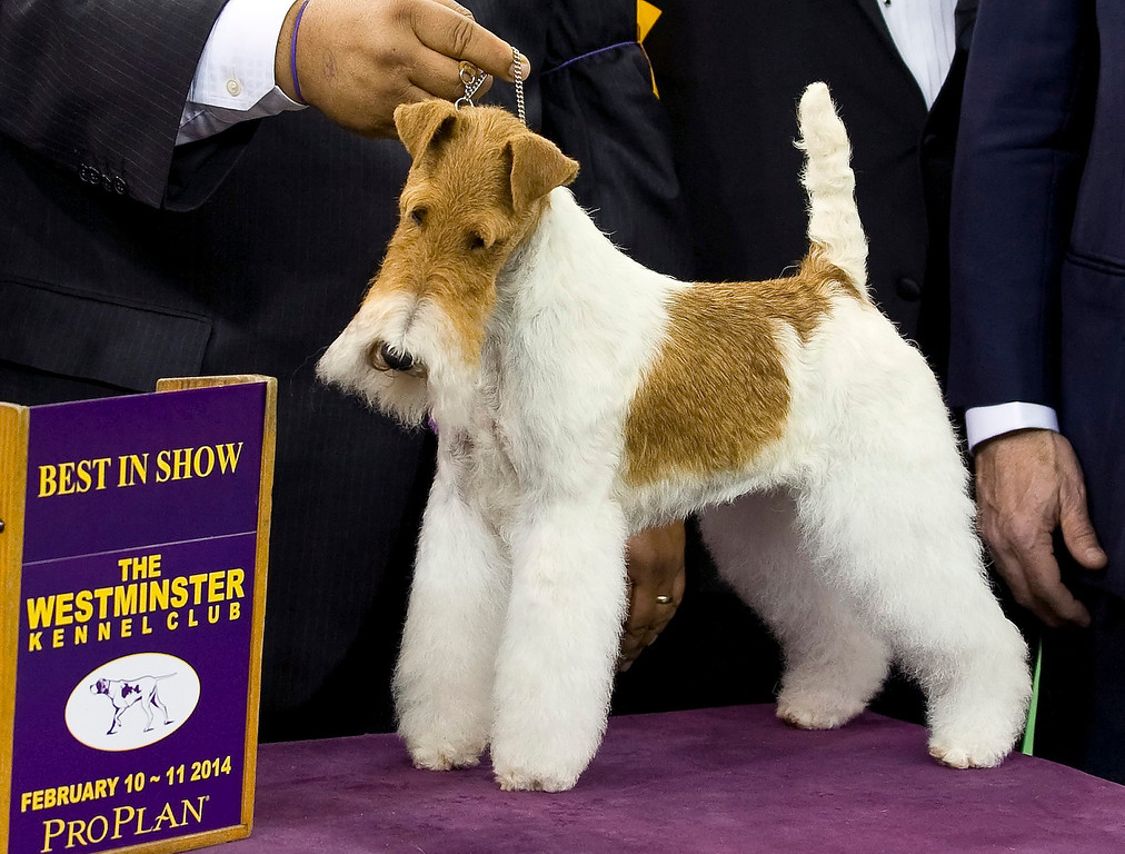 . Best in Show winner Sky, a Wire Fox Terrier poses for photos at the 138th Westminster Kennel Club Dog Show in New York, New York, USA, 11 February 2014. The annual dog show, which features dogs from all over the United States and around the world, is taking place on 10-11 February 2014.  EPA/STEPHEN CHERNIN