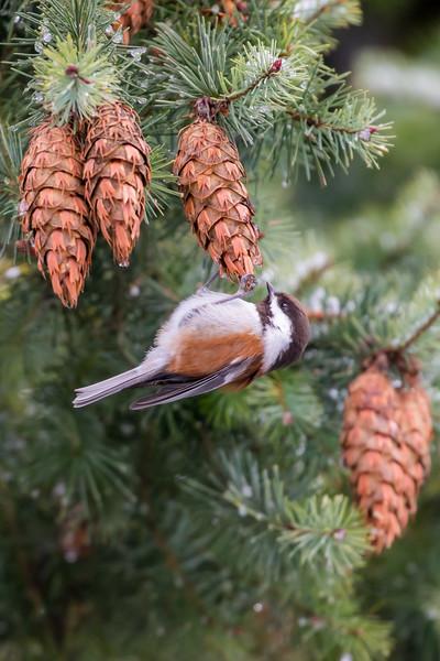 Chestnut-backed Chickadee (Poecile rufescens)