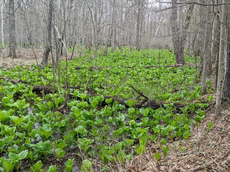 Skunk Cabbage Swamp