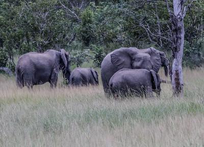 Elephants - Elefanter