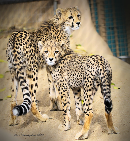 IMG_0036 Cheetah Cuns San Diego Zoo 6.9.2018 Signed.jpg