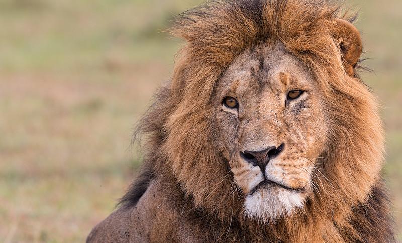 Mara-lion.jpg