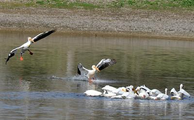 Photos: Pelicans Drop in East of Boulder