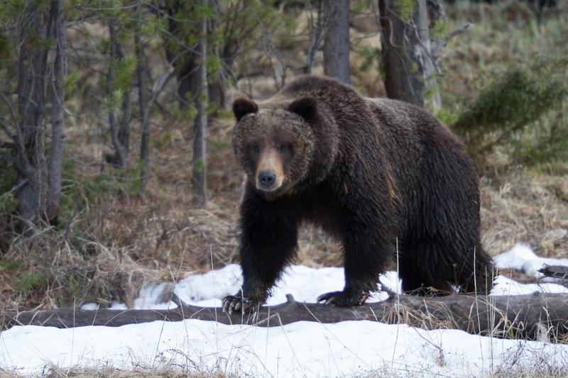 Grizzly bear boar male Yellowstone National Park WY IMG_0494.jpg