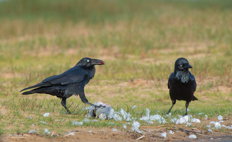 Australian Raven, Lake Woolumbulla, NSW, Aus, Apr 2013.jpg