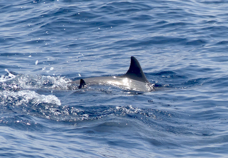 Dolphins-Mirissa20160123_012 copy.jpg