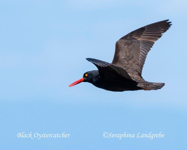 _DSC4506Black Oystercatcher flight.jpg