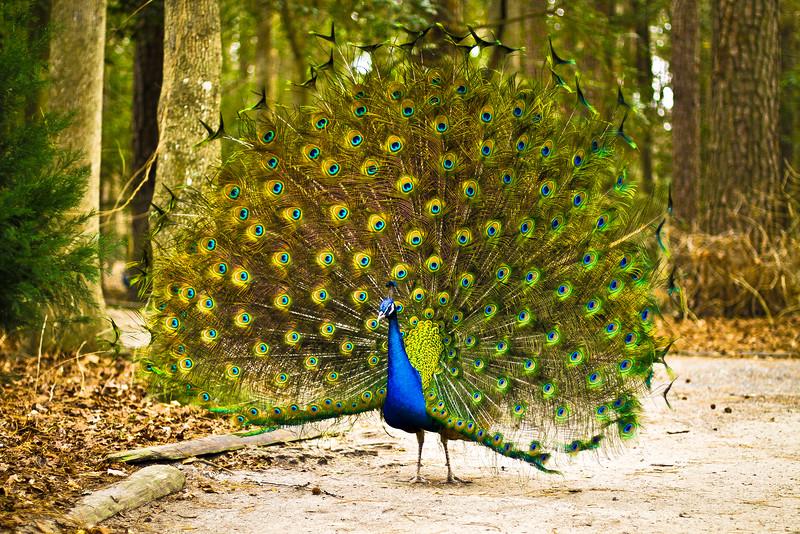 TracyScott_Peacock.jpeg
