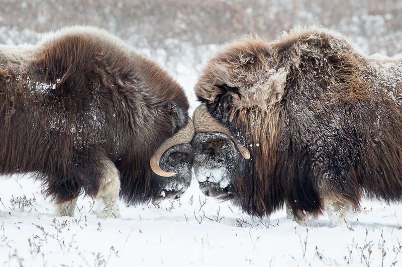 Arctic Wildlife and Landscapes Photo Workshop-22.jpg