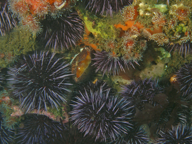 Rocky reef life, from sponges to urchins to anemones to the beautiful California Cowrie snail