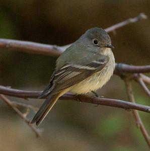 Hammond`s Flycatcher Empidonax hammondii
