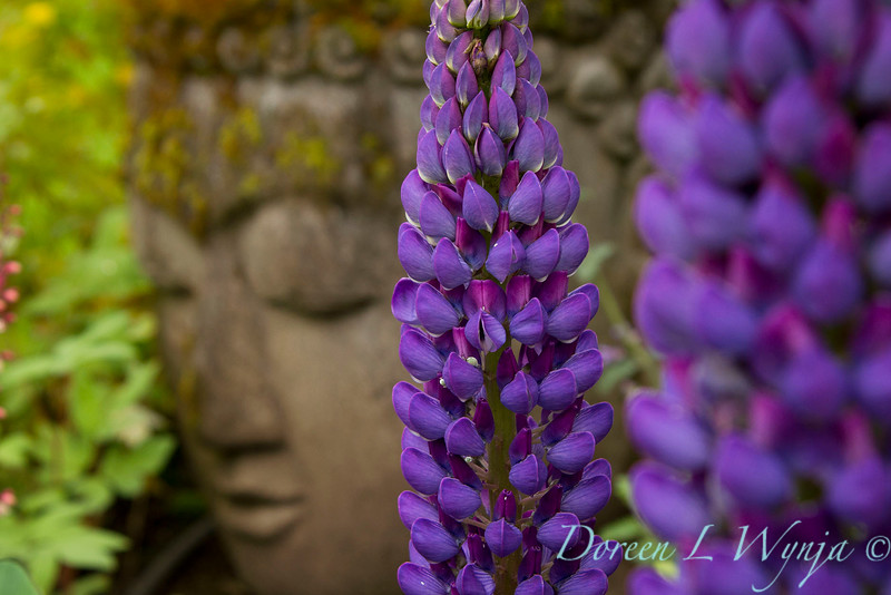 Lupinus - Buddha_7605.jpg