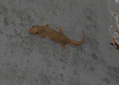Hawaiian Reptiles