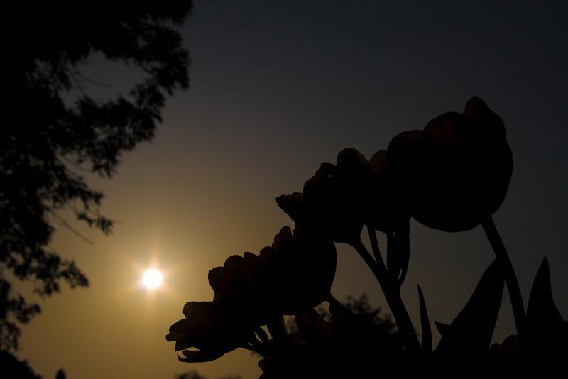 Tulips outdoor_34.jpg