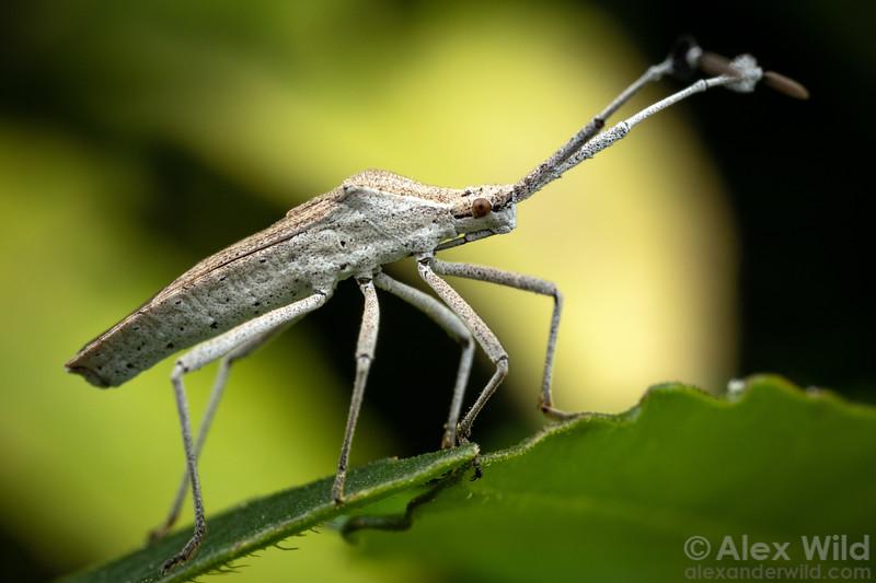 Chariesterus antennator