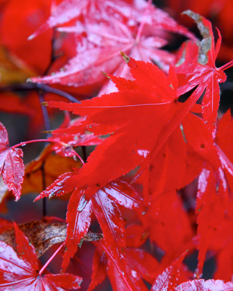 japanese maple  5159.png
