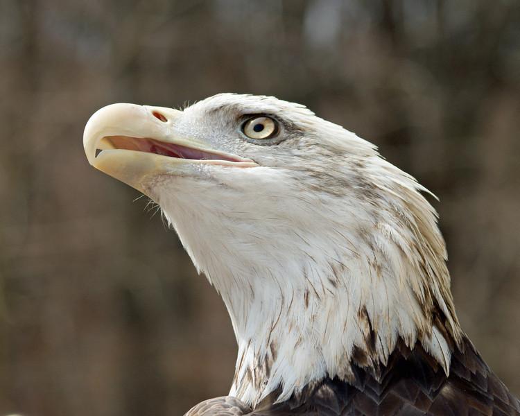 "Bald Eagle - ""Grounded Eagle Expectations"" - World Bird Sanctuary"