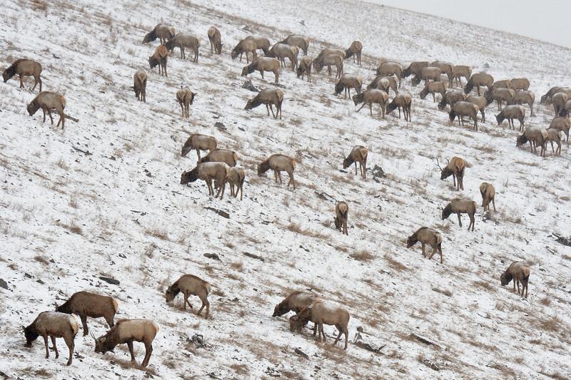 Elk Herd in the Cardinal River MIne