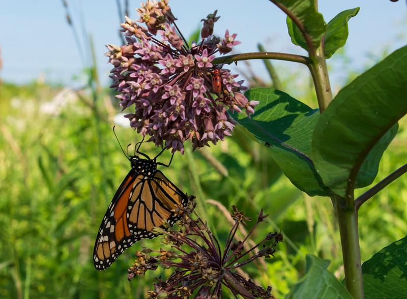 Monarch-butterfly-milkweed2-SFbog.jpg