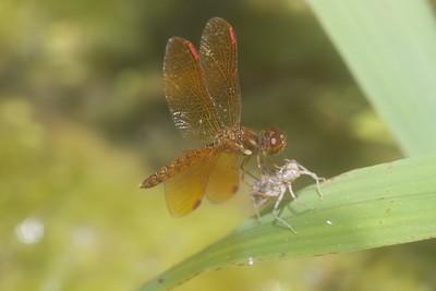 Perithemis tenera (Eastern Amberwing)