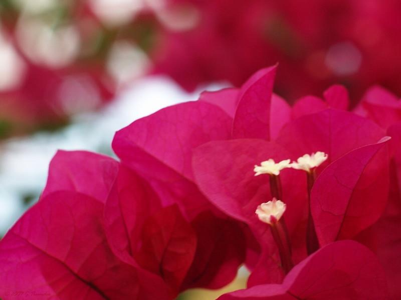 aggie24 True Flowers of Bouganvalia