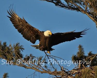 Chippewa Eagles 2017