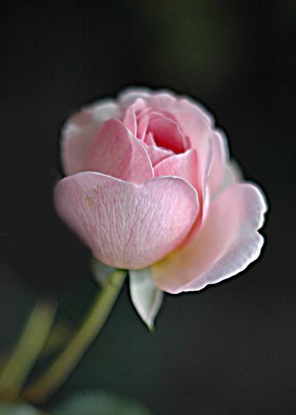 Memorial  rose  cropped .jpg