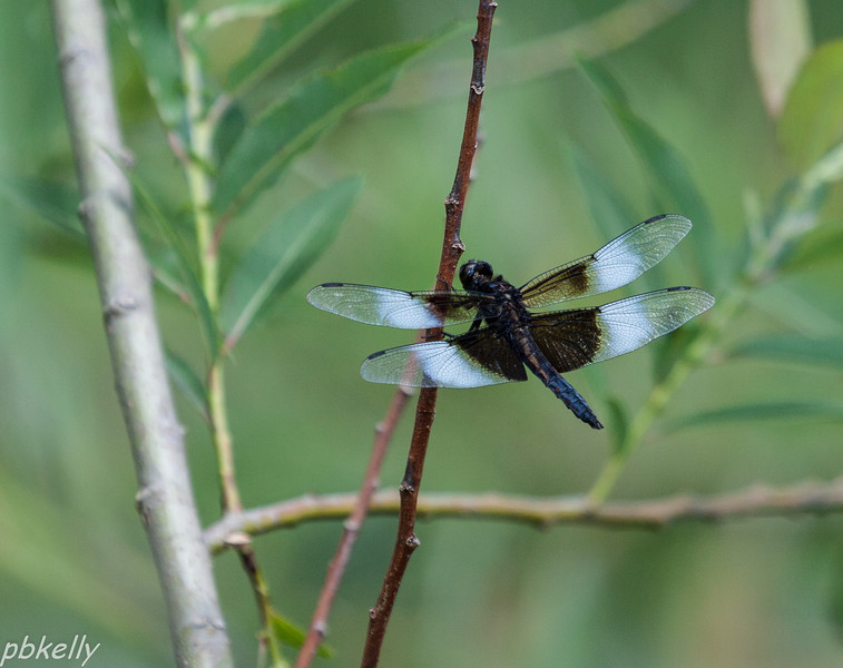 June 13. Widow Skimmer, Libellula luctuosa, perched around our pond.