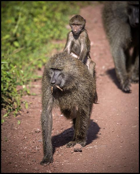 Baboons, Lake Manyara NP