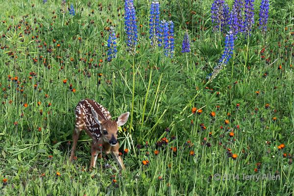 Fawn in wildflower meadow