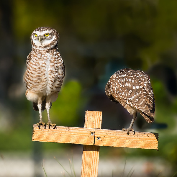 web burrowing owls-2.jpg