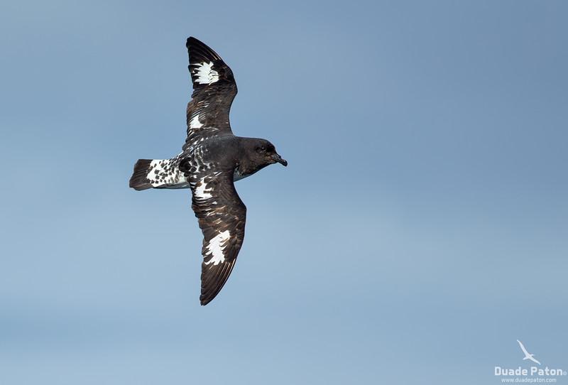 80-Cape-Petrel-South-East-NZ-13122013.jpg