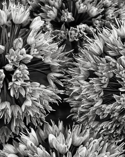 chive-flowers.jpg