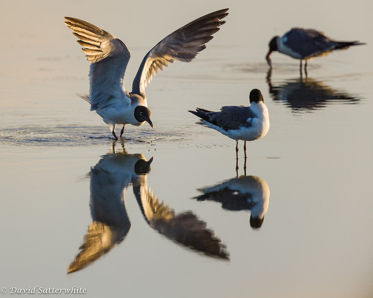 Laughing Gull, adult Breeding