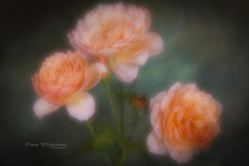 Dreaming of Ivy's Roses.jpg