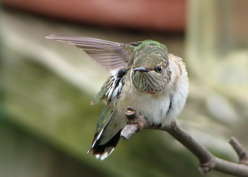 hummingbird_0781.jpg