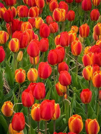 Tulips of Burnside Farms