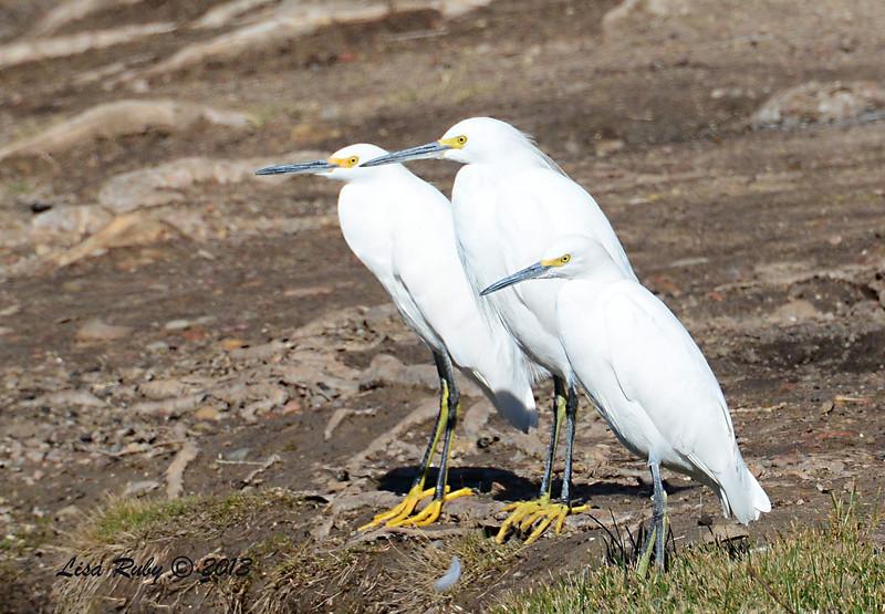 Trio of Snowy Egrets - 12/23/13 - Santee Lakes