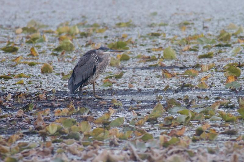 Great Blue Heron Lake Nichols Sax-Zim Bog MN IMG_0066506.jpg