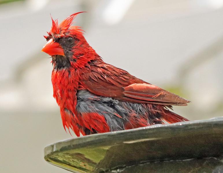 Cardinal in fountain 1